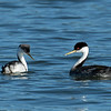 There's a significant physical difference between male grebes (right) and female grebes (left)