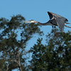 Great blue herons nest at Clear Lake and were abundant.