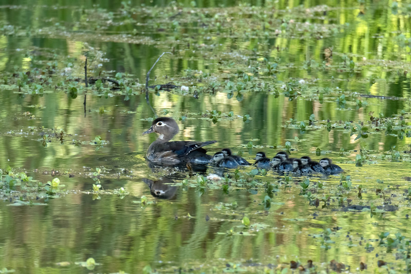 A friend and I went to Clear Lake to see the intricate breeding behavior of grebes (birds).  We were heading for the town of Lakeport, about 100 miles northeast from Larkspur.  We first stopped at the southern-most point of the lake and found this wood duck mom with a big brood.