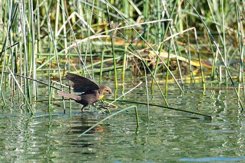 Female yellow-headed blackbird gathering nesting material.