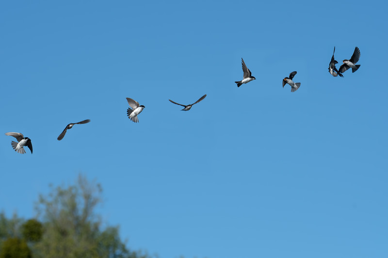 This is a 4-shot composite of swallows (? - someone help me identify) performing a courtship ritual.