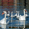 Mute swans recently found their way to Clear Lake.  At the moment, this is the only breeding pair.