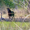 Sable antelope.... an unusual sight in this part of Africa.