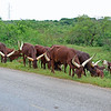 Zebu - the beef of Uganda. aka Ankole-Watusi cattle.