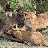 Sometime the day before, mom made a kill and then dragged the carcass under a bush.  She fetched her cubs so they could feed.  The little ones' tiny teeth couldn't quite break through the skin, but they seemed to enjoy trying.