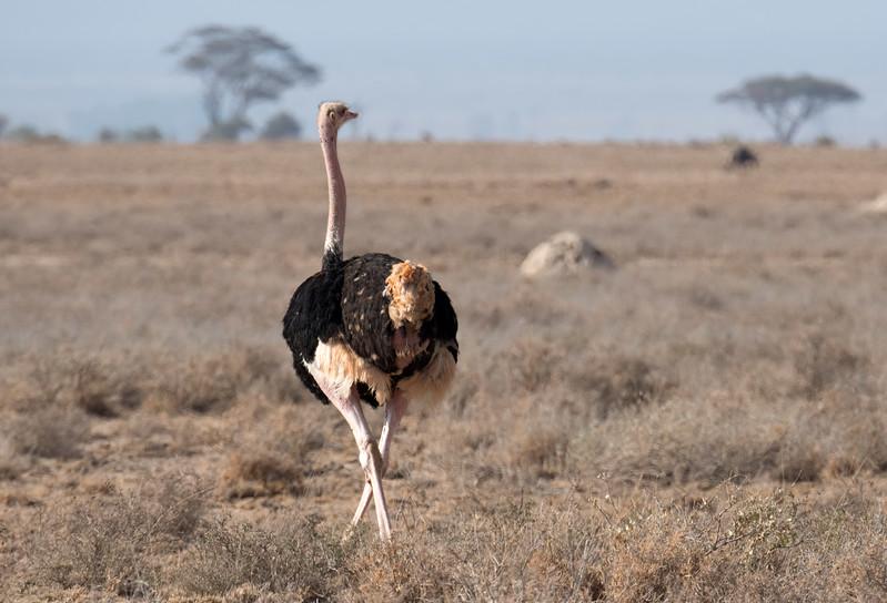 First ostrich sighting