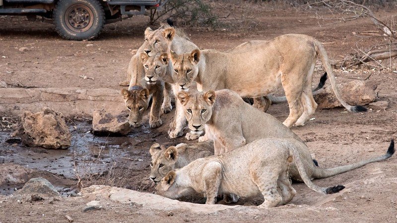 The rest of the pride was drinking before leaving for the hunt