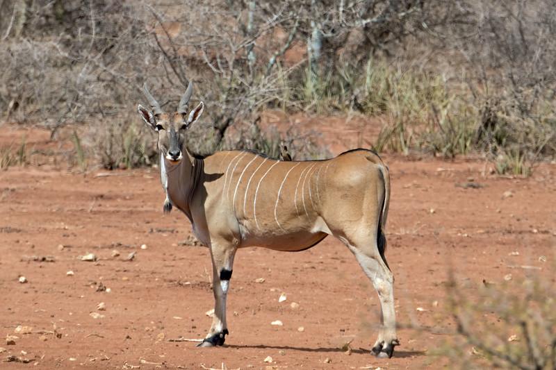 Eland, the largest antelope