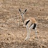 Female Thomson's gazelle