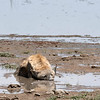 Hyena chilling out