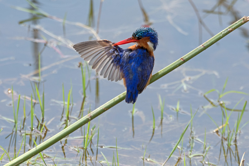 Malachite kingfisher, my most favorite African bird.  This little beauty was fishing.  We got to watch him dive and return to his perch over and over again until we finally had to leave.  At this point I decided the trip was a success, regardless of what was to come.