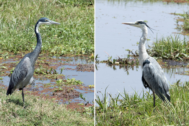 Left: black-headed heron;  Right: gray heron.  Both are similar to our great blue herons.