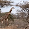 Giraffes, elephants, and zebra are everywhere in Amboseli.