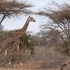 Giraffes, elephants, and zebra are everywhere in Amboseli.