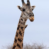That's an oxpecker clinging to the giraffe's neck.  Oxpeckers are a giant annoyance to many savanna animals.