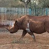This is the only rhino we saw on the trip.  He was born blind and has spent his entire life in captivity.