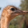 Ostrich, also at the Reptile Gardens
