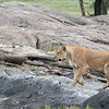 Just before dark, we saw this lioness on a mission.