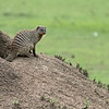 So interesting.... one mongoose stays behind to guard the den.