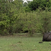 Not something you'll often see .... these mortal enemies, cape buffalo and lions, resting within spitting distance of each other.