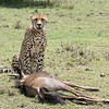 """One of the main reasons I went on this trip was to see cheetahs.  After 6 trips to Africa, I'd seen only 3 cheetahs (2 brothers in Botswana and a female hunting in Tanzania).<br /> <br /> All that would change on this day.  We were maybe 5 minutes from the airstrip heading for the lodge when our guide said """"he got something!""""  """"He"""" was Forrester, the biggest, strongest cheetah in the conservancy.  So, we hadn't even made it to camp when we saw our first cheetah, and he was on a fresh wildebeest kill  (actually not quite a kill.... the wildebeest was still breathing when we showed up)  :)"""