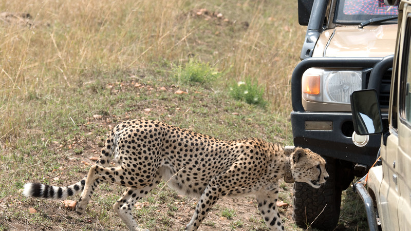 The prey, impala and buffalo, all moved off, so the cheetahs wanted to get to shade to rest.  This photo illustrates the problems with national parks and reserves..... this cheetah had almost no room to move between the vehicles.  He clearly panicked and finally just barged ahead.