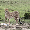 No larger cats or hyenas were around, so the cheetah got to feed in peace.