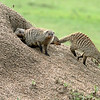 Gotta love these banded mongoose.  Here, they're leaving their den to go hunting.
