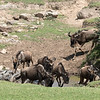 """As close as we came to seeing a """"crossing"""".  These wildebeest crossed a small stream to get to fresh grass."""