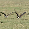 Takeoff.  Not as easy as it looks.... took this vulture 4 tries to get airborne.
