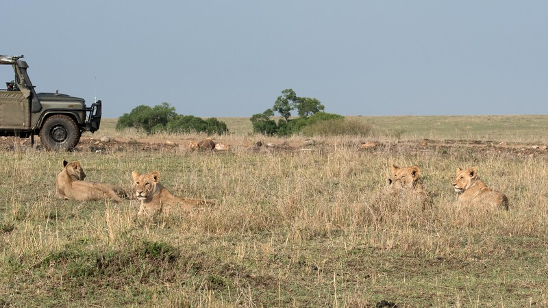 Hard to tell but there are maybe 12 lions in this photo