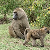 Baboons - first sighting the next morning