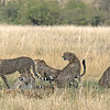 """As each cheetah arrived, he first greeted the others and then headed for the  """"scent"""" tree."""