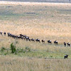 The cheetahs first got interested in a herd of impala, but shifted their attention to these wildebeest.