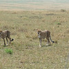 All the cheetahs were getting serious.  It was clear they each had a role to play, mostly directed by the collared male (lower right).