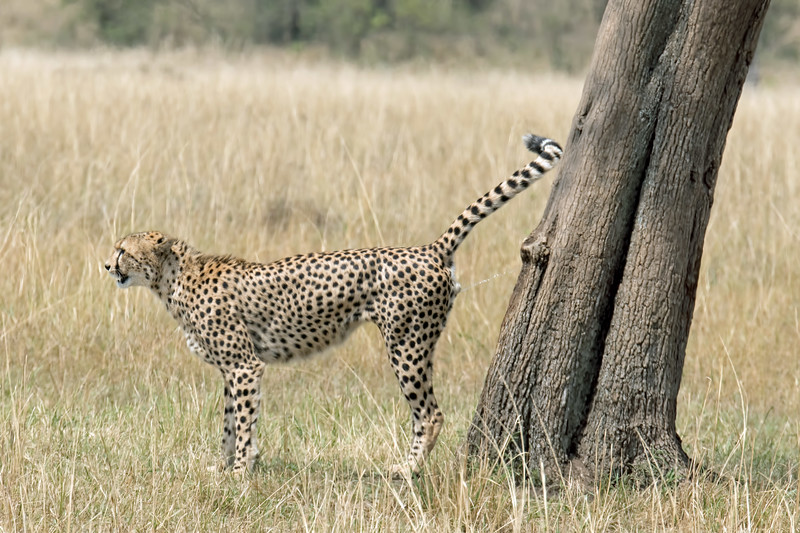 Apparently, it's necessary for all 5 cheetahs to mark the tree before napping.