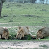 The 3 dominant males (brothers) stopped for a drink before joining the hunt.