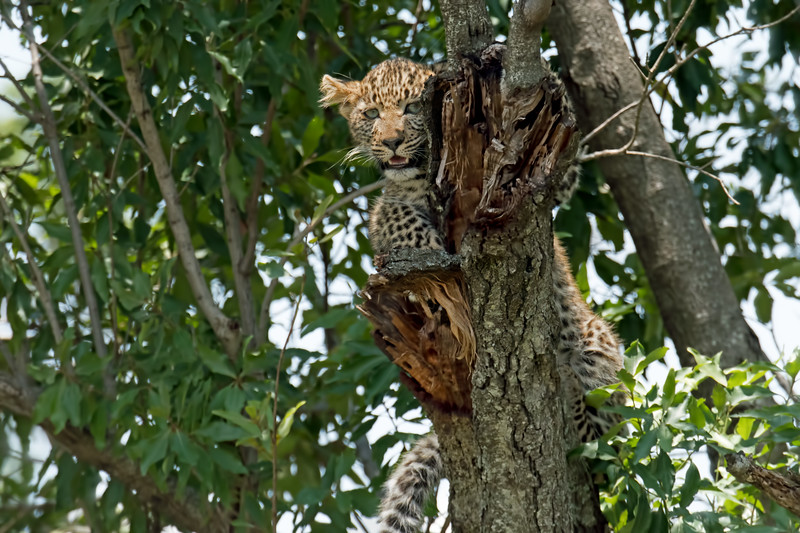 We got to the leopards around 10:30 AM.  They had been in the tree since 7:00 AM.  It was getting very difficult for the cub to hang on.  We watched for maybe an hour, but then had to leave.