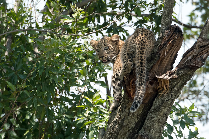 After seeing the pride of lions, we were on our way to camp when we came across quite a scene.... this leopard cub, and his mom (named Fig by the local folks), had been tree'd by lions several hours before we arrived.  Unfortunately for the leopards, the lions chose this exact spot for their long daytime rest.