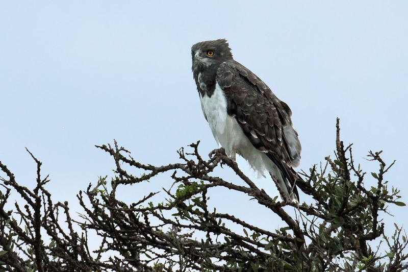 Young martial eagle.