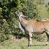 Eland, the largest antelope.