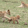As with the hyenas, lion prides have cubs of all ages.  Just as in most families, the big ones pick on the little ones.  However, this tiny one gave as good as he/she got.