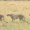 3-shot composite as this cheetah began stalking