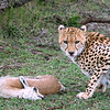 Cheetahs are nervous eaters, always watching out for something bigger to come along and steal their prey.
