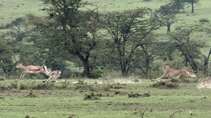 Cheetah chase and hunt video clip