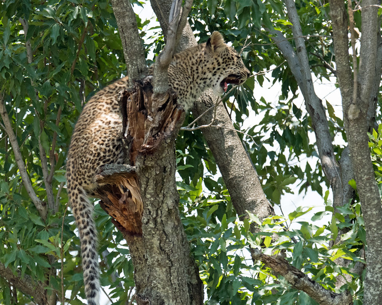 Mom!!!!  The cub was stuck on this branch; his mom was about 15 feet away on a different branch.  Mom was in a better spot because she had more of a perch.  At sunrise, the leopards were walking along a stream just behind these trees when they spotted lions approaching from the opposite direction.  The leopards did the sensible thing and climbed high into the closest tree before the lions detected their presence.