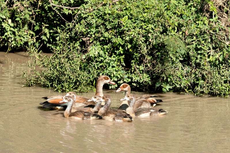 Egyptian goose family