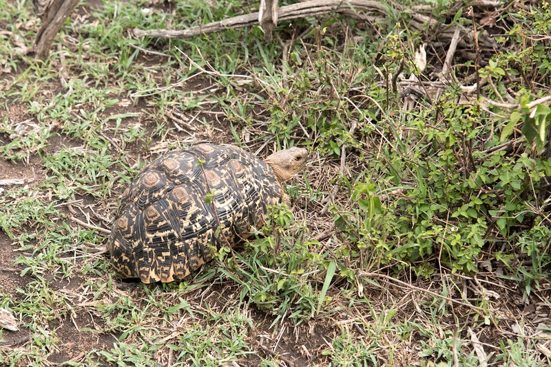 Leopard tortoise - not something you expect to see in Kenya.