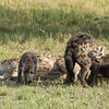 This is interesting behavior.  Hyena dens are communal, meaning many adults and their cubs share the space.  As a result, the cubs come in all sizes and shapes.  Except for the snoozing hyenas (1 in the foreground; 1 in the background), all the other ones are pups.  Note the tiny dark cubs trying to nurse from the larger spotted one.