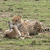 Cheetahs suffocate their prey.  It was a somber scene - the mother gazelle remained close by, crying out for her youngster.